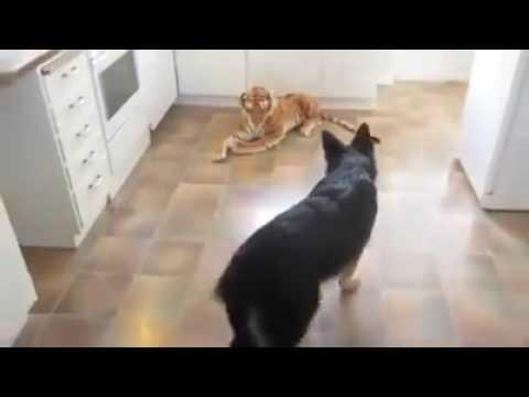 Un pastore tedesco incontra una tigre di peluche. Ecco la sua reazione